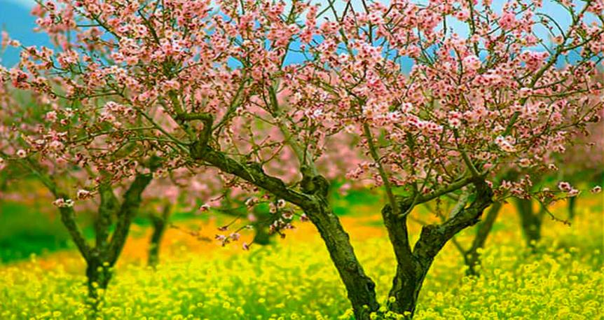 Badem Baharı