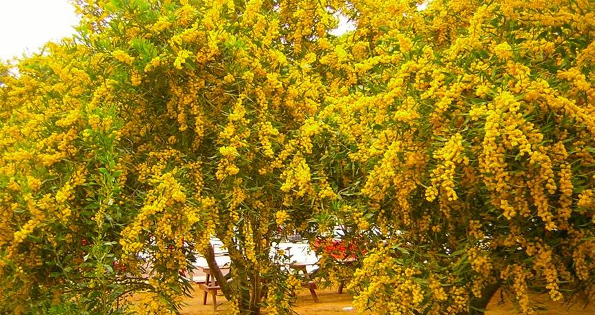 Mimoza Zamanı Baştanbaşa Kıbrıs